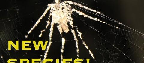 Une araignée sculpteur!